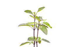 Medicinal holy basil or tulsi leaves. Holy Basil isolated on white background Royalty Free Stock Images