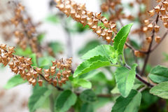 Medicinal holy basil Royalty Free Stock Photography