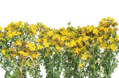 Medicinal Johnswort flowers Royalty Free Stock Image