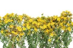 Medicinal Johnswort flowers Royalty Free Stock Image