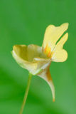 medicinal linaria mal den vulgaris växten arkivfoto