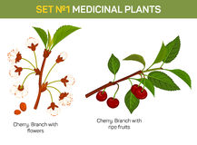 Medicinal or medical plant - branch of cherry blossom.  Stock Photo