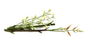 Medicinal Neem Flower, leaves with branch stock photography