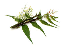 Medicinal Neem Flower, leaves with branch royalty free stock photography