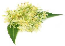 Medicinal neem flower and leaves Stock Photography
