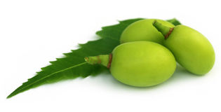 Medicinal neem fruits. With green leaf Royalty Free Stock Image