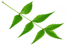 Medicinal neem leaf over white background Stock Image