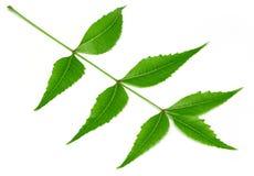 Medicinal neem leaf over white background Stock Image