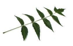 Medicinal neem leaf Royalty Free Stock Photos