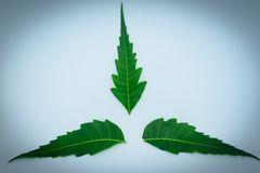 Medicinal neem leaf on white background. Azadirachta indica. royalty free stock images