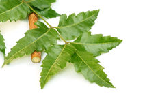 Medicinal neem leaves Royalty Free Stock Photography