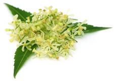 Medicinal neem leaves and flower Royalty Free Stock Photos
