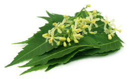 Medicinal neem leaves and flower Royalty Free Stock Image