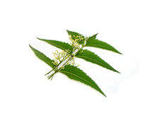 Medicinal Neem leaves with flower Royalty Free Stock Image