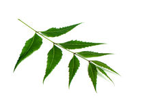 Medicinal neem leaves Royalty Free Stock Photos