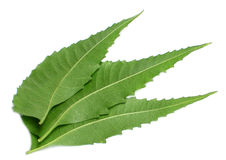 Medicinal Neem leaves royalty free stock image