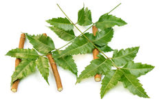 Medicinal neem leaves with twigs Stock Image