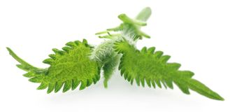 Nettle leaves. Medicinal nettle leaves over white background stock images