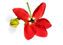 Medicinal Olatkamba flower Stock Photography