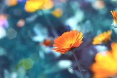 Medicinal plant - calendula stock images