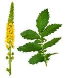 Medicinal plant:Agrimonia eupatoria. Common agrimony Stock Images