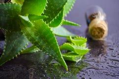 Medicinal plant aloe vera leaves Royalty Free Stock Photo