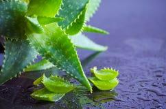 Medicinal plant aloe vera leaves Stock Photography