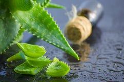 Medicinal plant aloe vera leaves Royalty Free Stock Photos