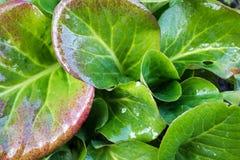 Medicinal plant bergenia Royalty Free Stock Image