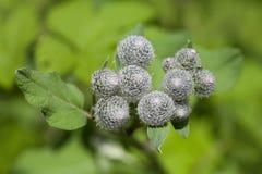 Medicinal plant burdock Arctium lappa, macro view. soft focus Stock Photography
