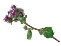 Medicinal plant: Burdock (Arctium lappa ) Royalty Free Stock Image