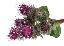 Medicinal plant: Burdock (Arctium lappa ) Stock Image