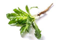 Medicinal plant burdock Arctium lappa on a white background Royalty Free Stock Photos