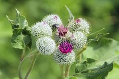Flowers and leaves of burdock. Medicinal plant burdock. Flowers and leaves of burdock blooming in summer field. Summer plant. Green buds and purple flowers of stock photos