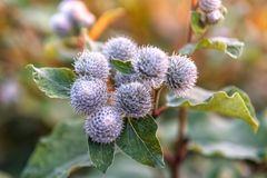 Medicinal plant burdock. Flowers and leaves of burdock blooming in summer field. Summer plant. Green buds and purple flowers of burdock royalty free stock image
