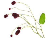Medicinal plant: Burnet (Sanguisorba officinalis) Stock Images