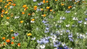 Medicinal plant calendula and nigella in country. stock video