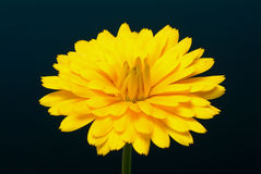 Medicinal plant Calendula officinalis royalty free stock photography