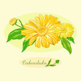 Medicinal plant Calendula officinalis. Calendula officinalis, flowers and leaves, bouquet Royalty Free Stock Images