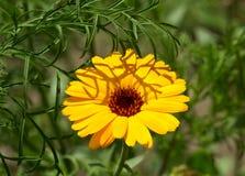 Medicinal plant calendula Royalty Free Stock Images