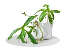 Medicinal plant Callisia fragrans Royalty Free Stock Photography