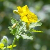 Medicinal plant Celandine (lat. Chelidonium). Celandine (lat. Chelidonium). Flowering plant. Flora Of Siberia royalty free stock photo
