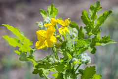 Medicinal plant Celandine (lat. Chelidonium). Celandine lat. Chelidonium. Flowering plant. Flora Of Siberia stock image
