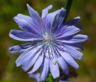 Medicinal plant of chicory Royalty Free Stock Photography