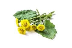 Medicinal plant coltsfoot Tussilago farfara royalty free stock photography
