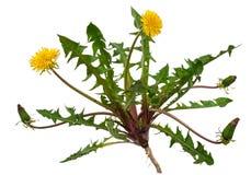 Medicinal plant: Dandelion (Taraxacum officinale). On white background stock photography