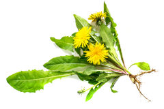 Medicinal plant dandelion on a white background Stock Images