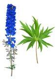 Medicinal plant: Delphinium Stock Images