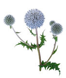 Medicinal plant: Echinops. On white background royalty free stock image