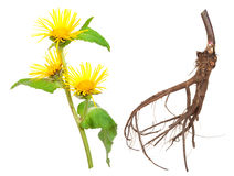 Medicinal plant. Elecampane (Inula helenium). On white background Stock Photography